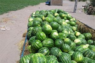 فروش هندوانه صادراتی b32