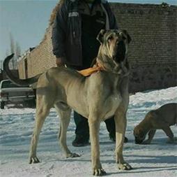 سگ افغان - 1