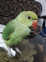 خریدار طوطی ملنگو سبز و رام