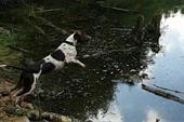 فروش یک قلاده سگ نر ،پوینتر فرانسوی اصیل