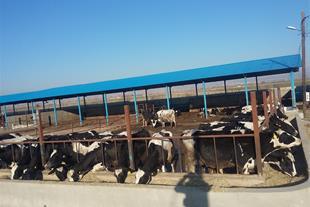 فروش گاوداری 50راسی شیری صنعتی تازه ساخت