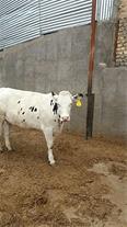 فروش انواع گوساله سیمینتال وهلشتاین پرواری وداشتی