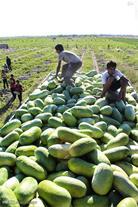 تولید و فروش هندوانه صادراتی