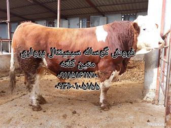فروش گوساله سیمینتال - فروش گوساله هلشتاین - 1