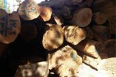 فروش ویژه انواع چوب درختان جنگلی