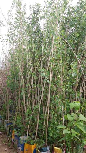 قیمت درخت صنوبر