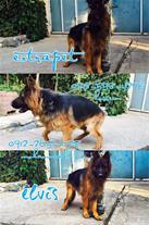 مرکز فروش انواع سگهای نگهبان