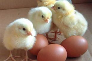 فروش مرغ بومی