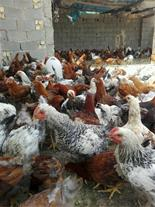 فروش مرغ اماده به تخم