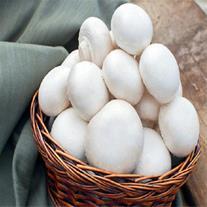 فروش بذر قارچ دکمه ای در ارومیه