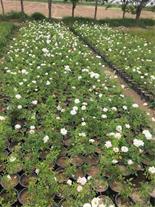 فروش گلدان گل رز و نسترن و هفت رنگ