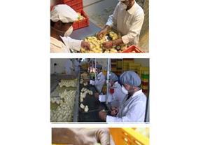فروش جوجه مرغ بومی