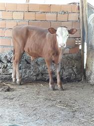 فروش گوساله سیمینتال و مونت بیلیارد و هلشتاین اصیل - 1