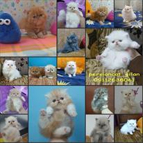 فروش گربه پرشین کت در انزلی