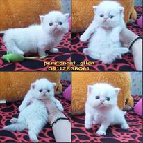 فروش پرشین کت سفید -گربه پرشین رشت