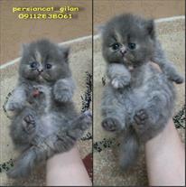 فروش بچه گربه پرشین بلو