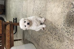 فروش سگ هاسکی ساموید استثنای