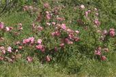 گلاب صد در صد طبیعی با خواص درمانی