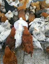فروش مرغ و خروش و جوجه نیمچه مرغ و خروس