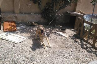 فروش سگ ژرمن دوبرمن_میکس
