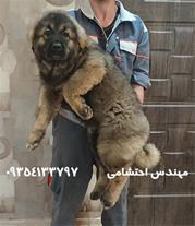 فروش سگ قفقازی-توله قفقازی-فروش توله سگ قفقازی