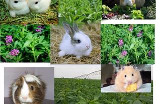 فروش یونجه خشک مخصوص خرگوش ، خوکچه هندی ، همستر