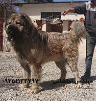 فروش سگ قفقازی-سگ قفقازی-سگ عظیم الجثه