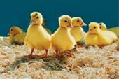 فروش جوجه اردک یکروزه پکنی
