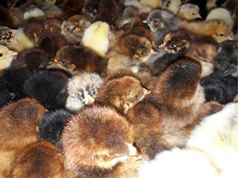 فروش جوجه بومی یکروزه در انواع نژادها - 1