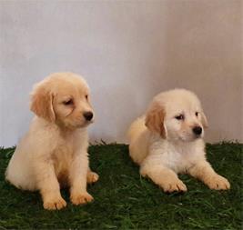 فروش سگ گلدن رتریور - فروش توله گلدن رتریور - 1