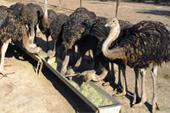 فروش شترمرغ پرواری - قیمت شترمرغ پرواری