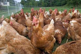 فروش مرغ لگهورن و لوهمن یک روزه تا 2 ماهه