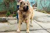 بهترین و فوق العاده ترین توله های سگ قفقاز