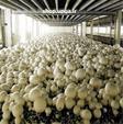 فروش کمپوست و بذر قارچ