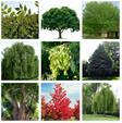 نهال چنار ، نهال اقاقیا ، نهال درخت صنوبر