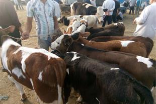 فروش گوساله پرواری......