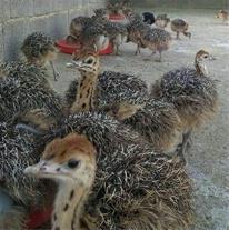 فروش شتر مرغ دوماهه با وزن گیری بالا