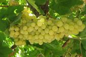 نهالستان قاصدک تولید بیش از 70 نوع انگور