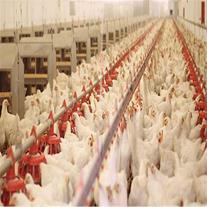 راه اندازی سالن مرغداری - تامین کننده تجهیزات سالن