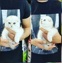 فروش بچه گربه اسکاتیش فولد چینچیلا سیلور