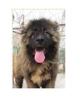 بزرگترین سگ قفقاز