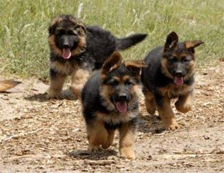 فروش توله ژرمن شپرد,فروش سگ ژرمن،فروش سگ نگهبان - 1