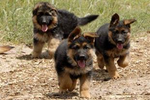 فروش توله ژرمن شپرد,فروش سگ ژرمن،فروش سگ نگهبان