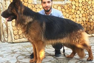 سگ ژرمن موبلند(نیکولاس)