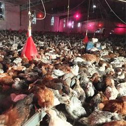 مرکز پرورش و فروش مرغ تخمگذار بومی اصلاح شده - 1