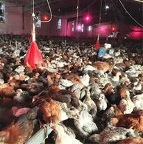فروش مرغ بومی بهترین نژاد(چیکن میکس)