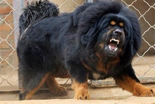 فروش گرانترین سگ دنیا ( تبتی ماستیف )
