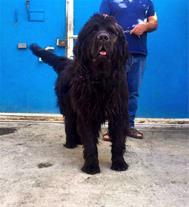 فروش دائمی سگ تبت ماستیف