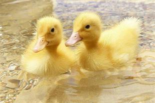 فروش جوجه اردک یکروزه