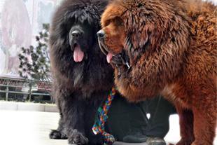 غول ترین و سنگین ترین سگ(تبت ماستیف)